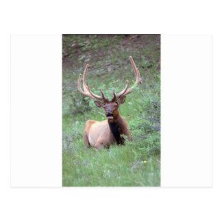 Elk Post Cards