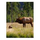 Elk Postcards