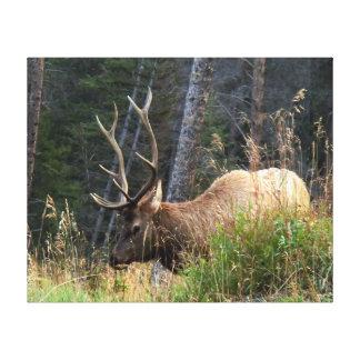 Elk Rocky Mtn National Park - Wrapped Canvas Print