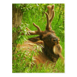 Elk summer postcard