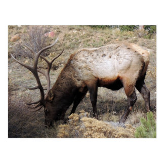 Elk Wapiti Cervus Canadensis Post Cards