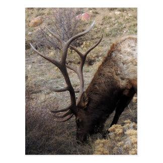 Elk Wapiti Cervus Canadensis Postcard
