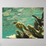 Elkhorn coral in Florida Keys Posters