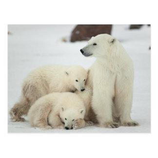 Ella-oso polar con Cubs Tarjeta Postal