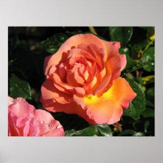 Elle Hybrid Tea Rose 150 Posters