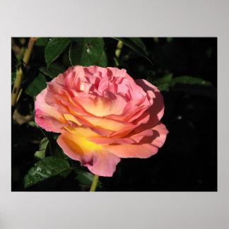 Elle Hybrid Tea Rose 152 Poster