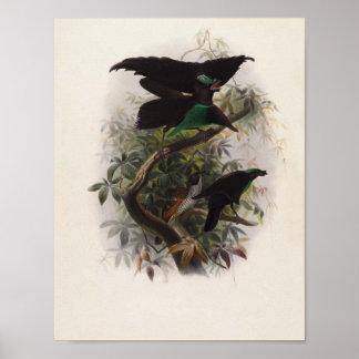 Elliot - Lophorina atra - Superb Bird Of Paradise Poster