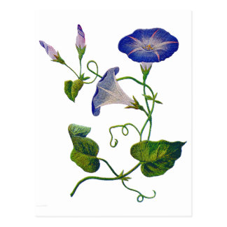 Embroidered Blue Morning Glories Postcard