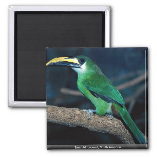 Emerald toucanet, South America 2 Inch Square Magnet