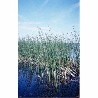Emergent vegetation - bulrush photo cut out