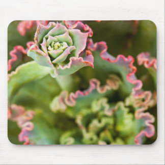 Emerging bud of an Echeveria Plant Mouse Pad