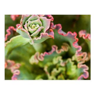 Emerging bud of an Echeveria Plant Postcard