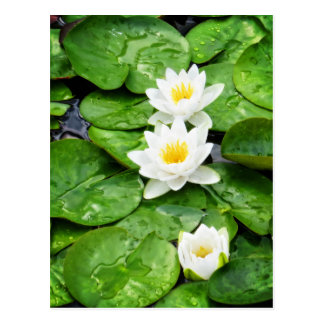 Emerging Lotus Flowers Postcard