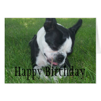 Emma the Boston Terrier enjoying a stick Card