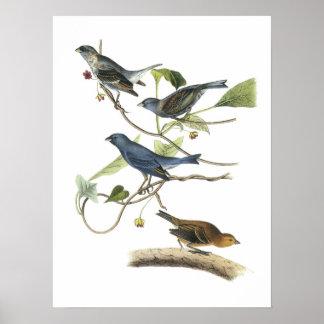 Empavesado de añil por Audubon Póster