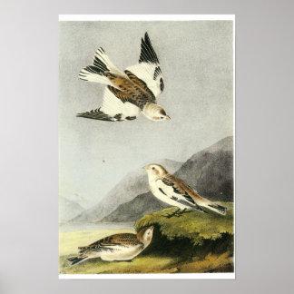 Empavesado de nieve - John James Audubon Poster