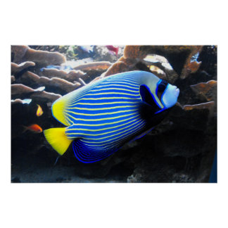 Emperor Angelfish Poster