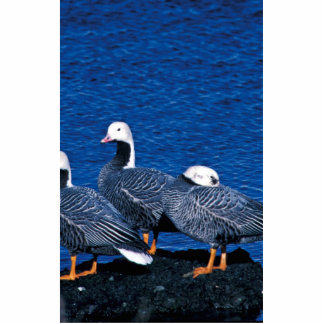 Emperor Geese at Adak Island Clam Lagoon Cut Out