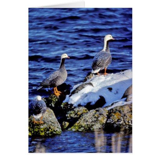 Emperor Geese in Winter Habitat Cards