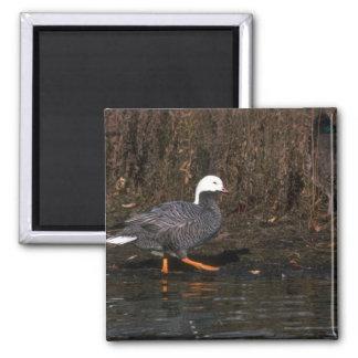 Emperor Goose Magnet