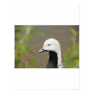 Emperor Goose Postcard