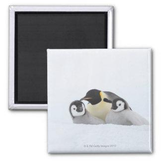 Emperor Penguin (Aptenodytes forsteri) 2 Magnet