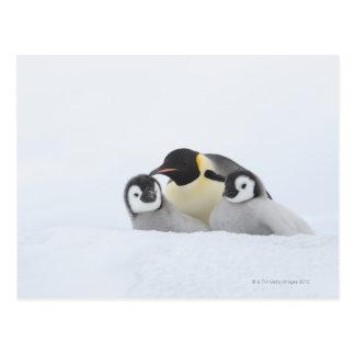 Emperor Penguin (Aptenodytes forsteri) 2 Postcard