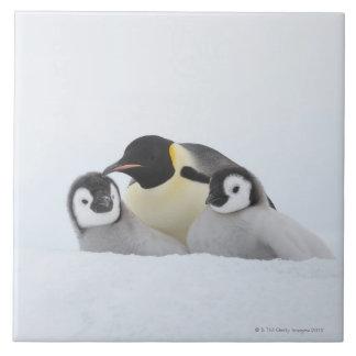Emperor Penguin (Aptenodytes forsteri) 2 Tile