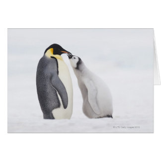 Emperor penguin (Aptenodytes forsteri), chick Card