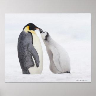 Emperor penguin (Aptenodytes forsteri), chick Posters