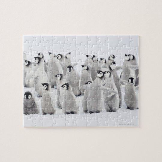Emperor penguin (Aptenodytes forsteri), group of Jigsaw Puzzle