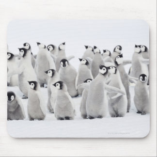 Emperor penguin (Aptenodytes forsteri), group of Mouse Pad