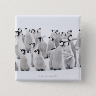 Emperor penguin (Aptenodytes forsteri), group of Pinback Button