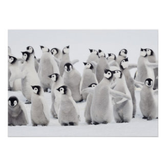 Emperor penguin (Aptenodytes forsteri), group of Poster