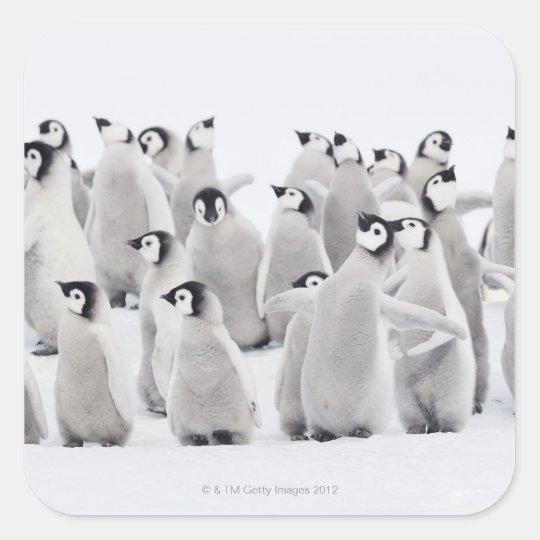 Emperor penguin (Aptenodytes forsteri), group of Square Sticker