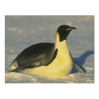 Emperor Penguin, Aptenodytes forsteri), Postcard