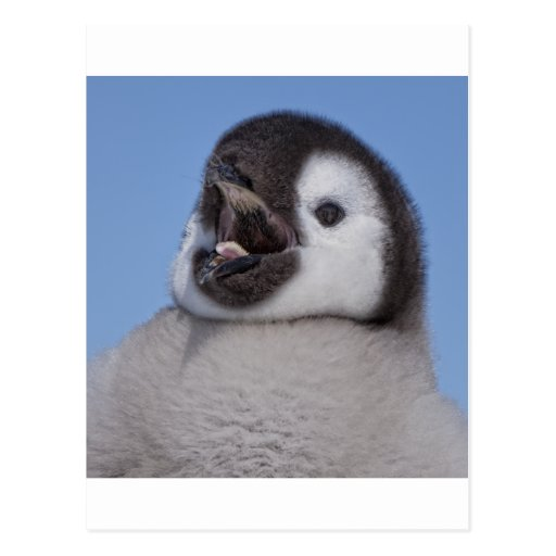 Emperor Penguin Chick Post Card
