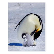 Emperor Penguin & Chick Preening Postcard
