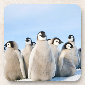 Emperor Penguin Chicks - beverage coaster