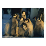 Emperor Penguin chicks in creche, Aptenodytes Card