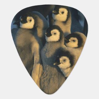 Emperor Penguin chicks in creche, Aptenodytes Guitar Pick