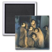 Emperor Penguin chicks in creche, Aptenodytes Magnet