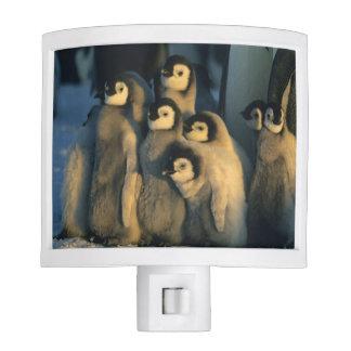 Emperor Penguin chicks in creche, Aptenodytes Night Light
