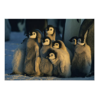 Emperor Penguin chicks in creche, Aptenodytes Poster