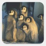 Emperor Penguin chicks in creche, Aptenodytes Square Sticker