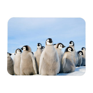 Emperor Penguin Chicks - magnet