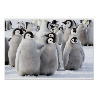 Emperor Penguin Chicks poster