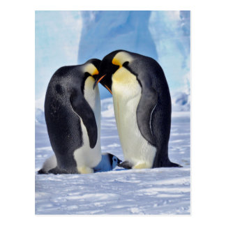 Emperor Penguin Family Postcard