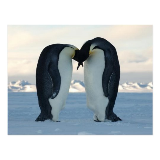 Emperor Penguin Kiss - Postcard