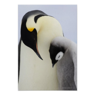Emperor Penguin looking at chick Poster